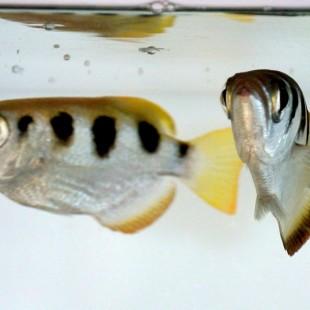 pesce arciere_mare di diversita