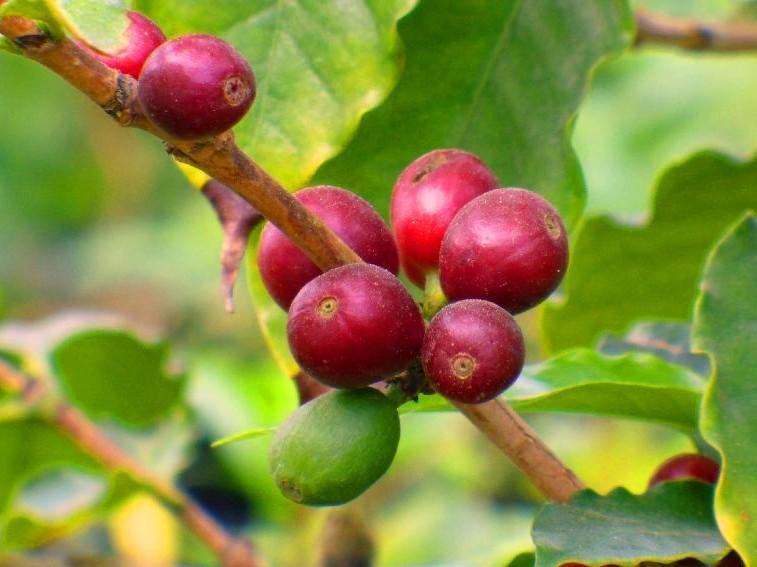 Brera-Coffeaarabica
